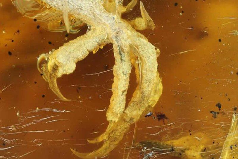 緬甸琥珀中驚見一億年前的幼鳥屍體鳥爪。