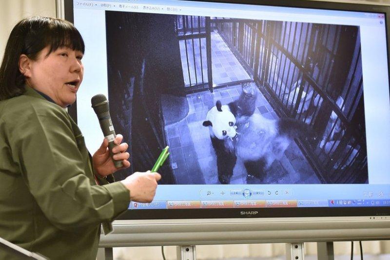 這是真真入住上野動物園以來第二次分娩。動物園教育普及課長金子美香子向媒體展示真真產後叼著幼崽的照片。(BBC中文網)
