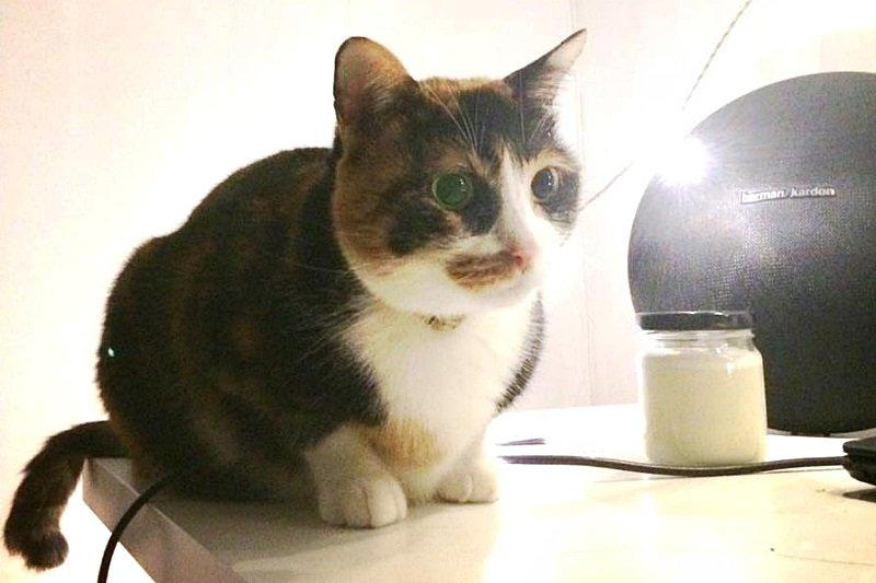 當貓咪體重過重,也會對身體健康造成莫大的威脅喔!(圖/謝孟穎攝)