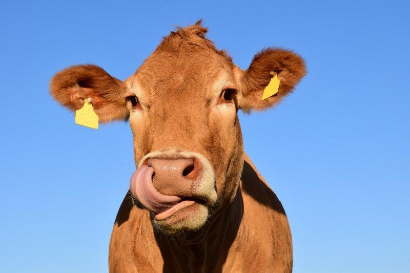 美國乳製品創新中心日前進行一項線上調查,指出美國7%的民眾認為,巧克力牛奶是從褐色乳牛擠出來的。(Pixabay)