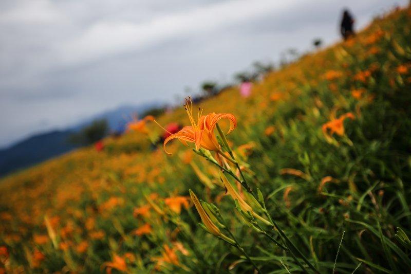 金針花季到來,去這幾個地方賞景就對啦!(圖/leolyz@Flickr)