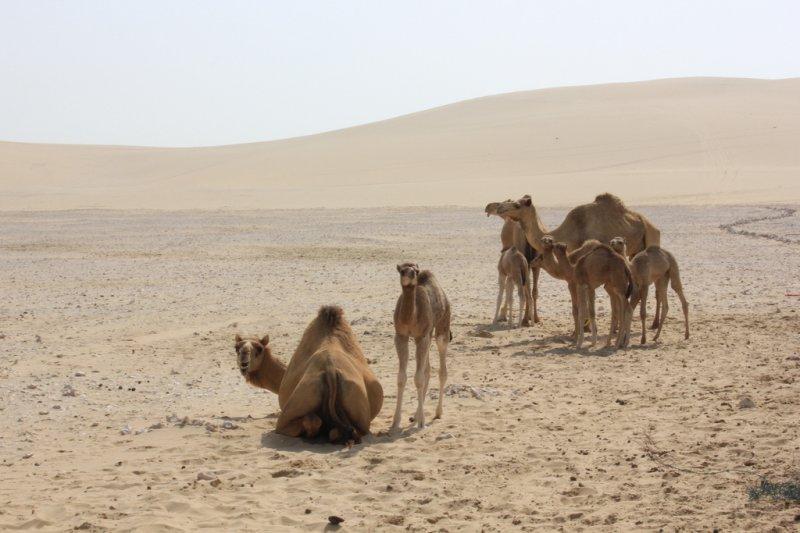 沙烏地阿拉伯遣返數萬頭牲畜回卡達。(示意圖/IsabellSchulz@flickr)