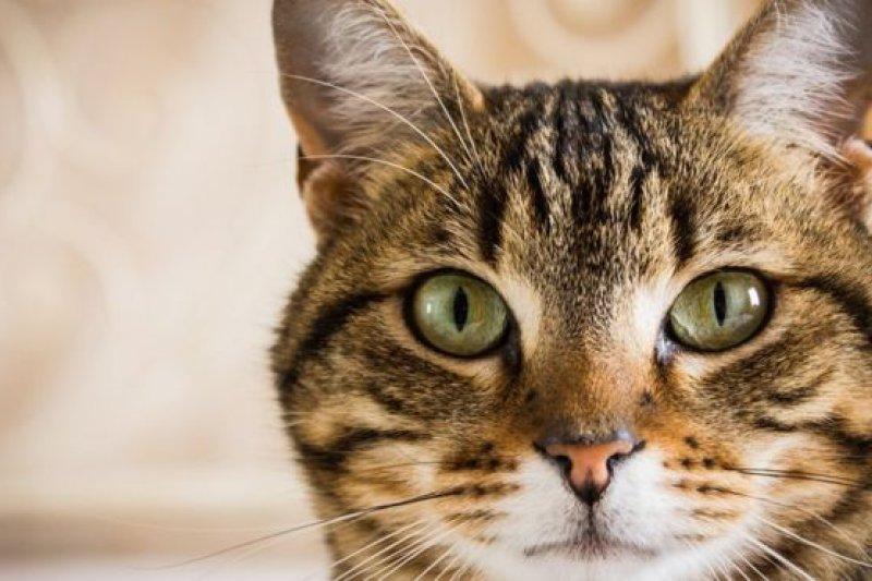 虎斑貓是名貴品種,基因突變導致它皮毛呈虎皮斑狀圖案。(BBC中文網)