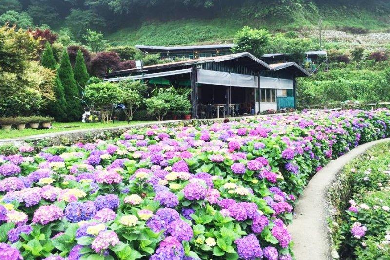 繡球花季又到囉!全台各地其實都有賞繡球花的私房景點哦。(圖/大梯田花卉生態農園@facebook)