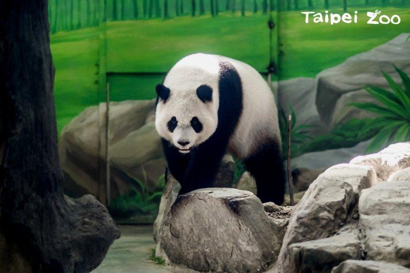 台北市立動物園在6日時將為貓熊「圓仔」舉辦「圓仔4歲生日─圓粉慶生派對」的活動,園區將送特製的生日蛋糕送給「圓仔」。(取自台北市政府)