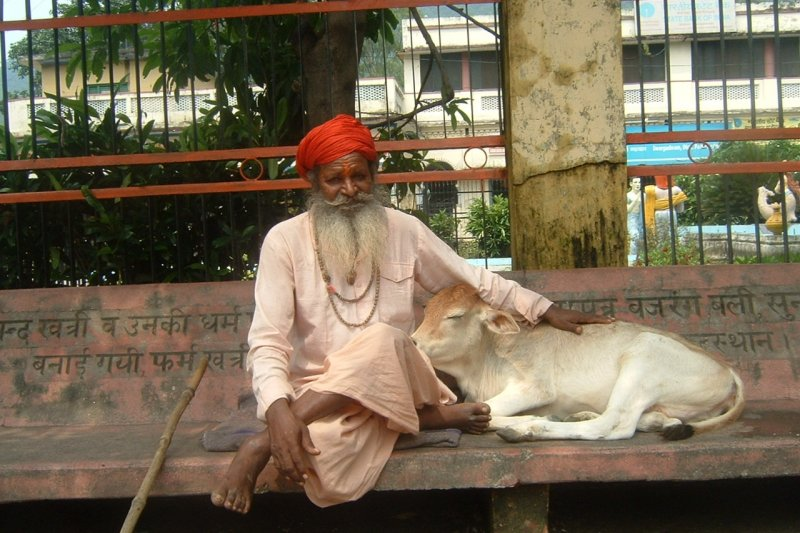 印度教把牛視為神聖動物,百般呵護。(維基百科公有領域)