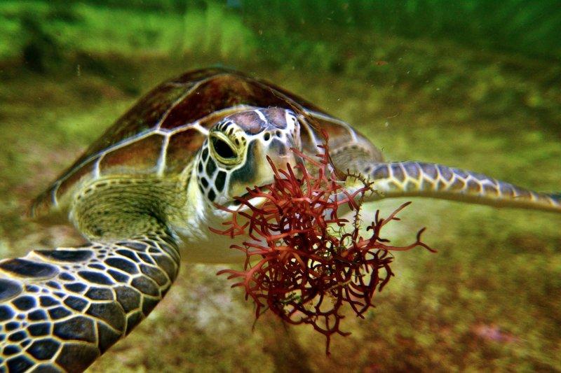 作者在擔任海巡員期間拯救過不少海龜。(圖/大是文化提供)