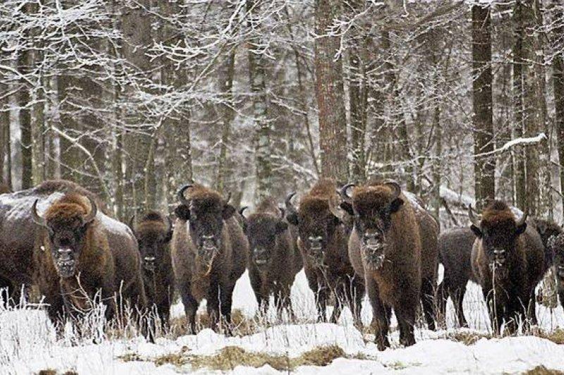 比亞沃維耶扎原始森林擁有全歐最大的歐洲野牛族群(AP)