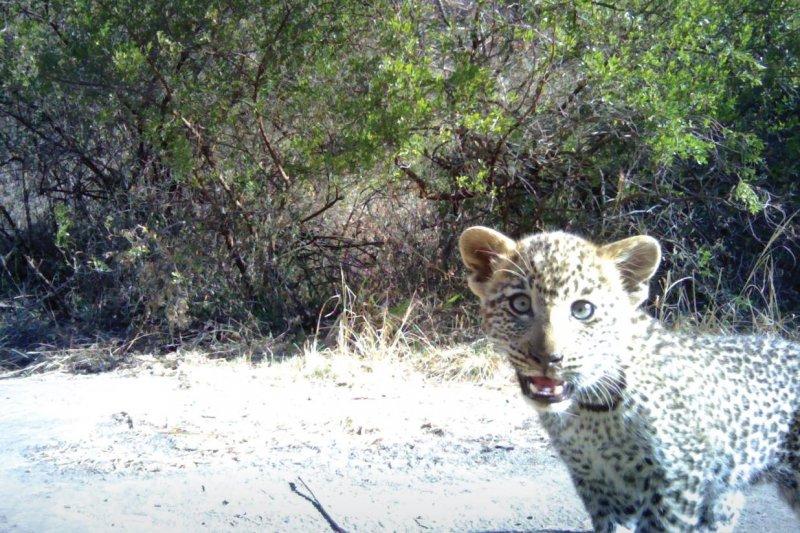 非洲坦尚尼亞保育組織「恩戈羅恩戈羅獅子」(Ngorongoro Conservation Area)驚見母獅哺育幼豹。(取自Panthera臉書)