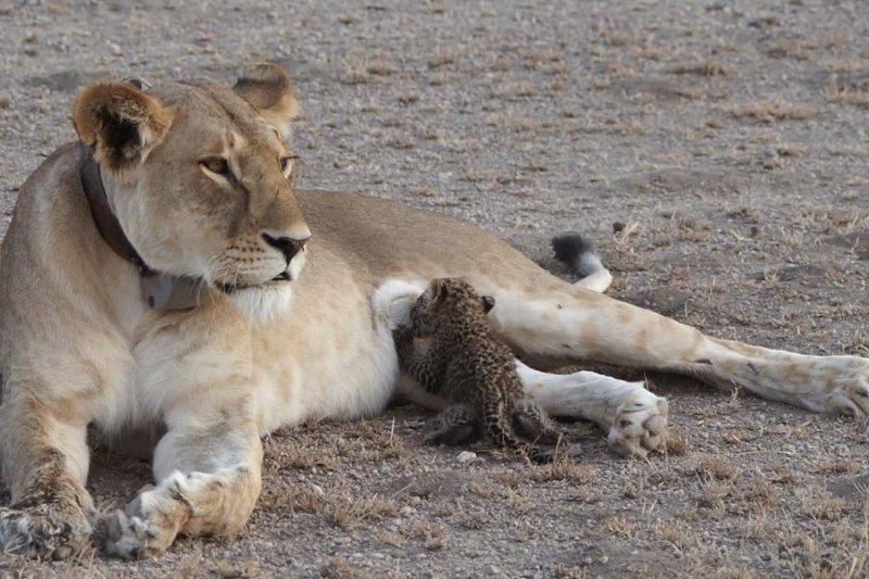 非洲坦尚尼亞保育組織「恩戈羅恩戈羅獅子」(Ngorongoro Conservation Area)驚見母獅哺育幼豹。(AP)