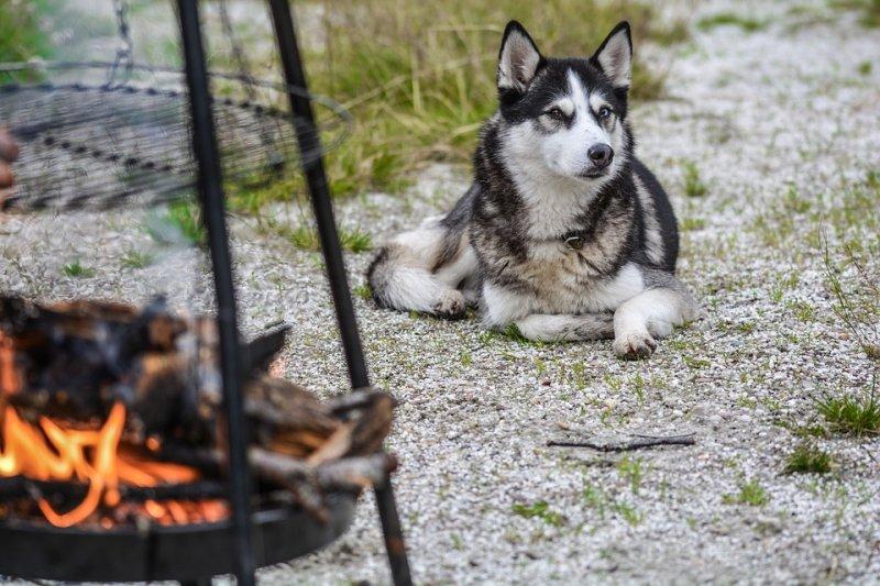 狗有某種基因疾病,導致牠們具備了有別於狼,尋求社會接觸的誇張動機。(圖/monicore@pixabay)