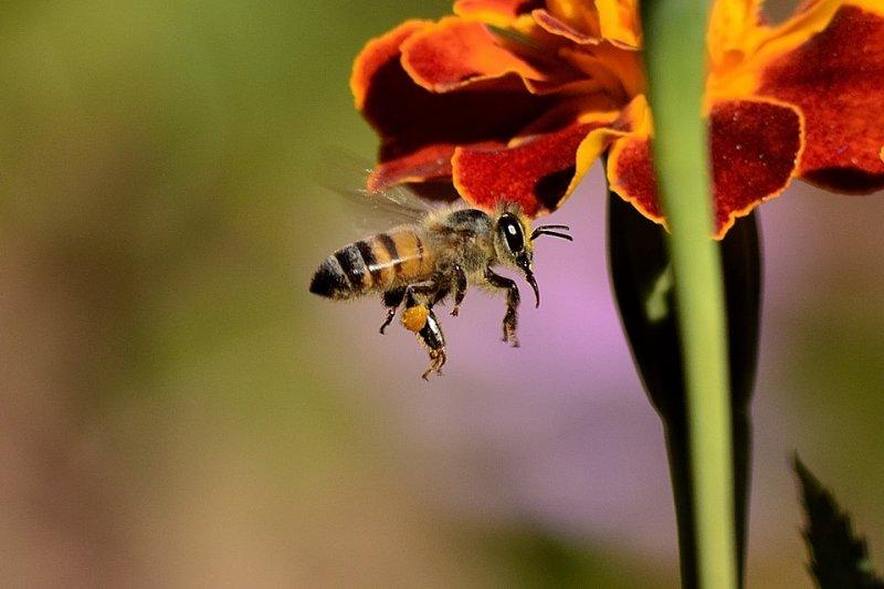 部分患者會因蜂毒蛋白引發嚴重過敏,血管過度擴張,嚴重可能導致過敏性休克。(圖/pieterz@pixabay)