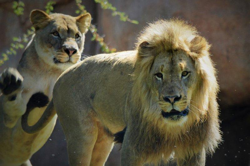 面對被動、消極的男美洲獅,女美洲獅「喵喵」主動出擊、成功達陣。(圖/rustymillsFC@pixabay)