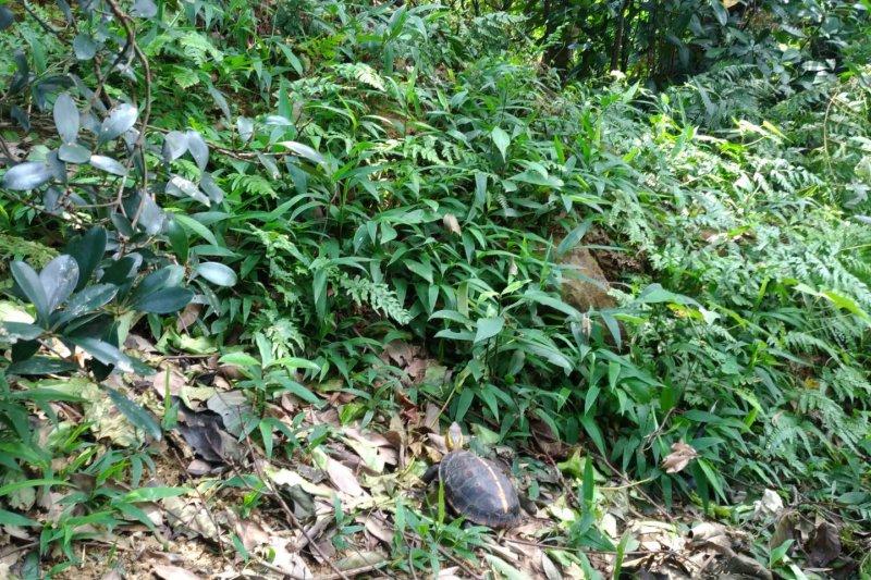 被救援的食蛇龜野放回家囉(北市府)