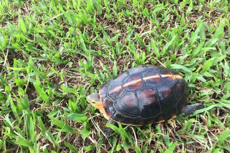 食蛇龜最明顯的特徵是稜脊上有一條明顯的黃線(北市府)