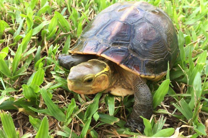 食蛇龜其實模樣可愛,可別被牠的名字嚇到(北市府)