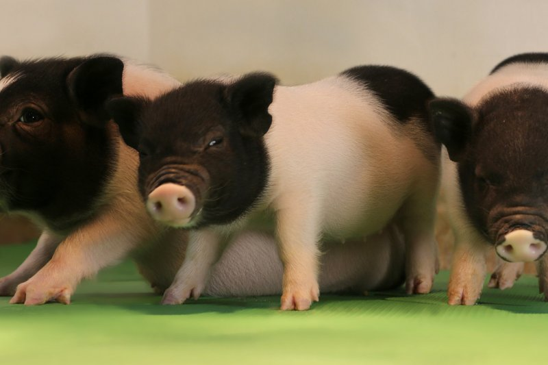 eGenesis研究團隊用來實驗的小豬。(eGenesis)