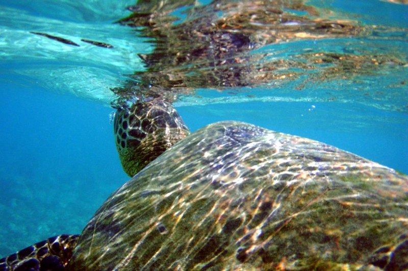 海巡署人員在南沙太平島發現迷途綠蠵龜,已動員官兵引導牠返回大海。圖為綠蠵龜。(Brocken Inaglory@wikipedia/CC BY-SA 3.0)