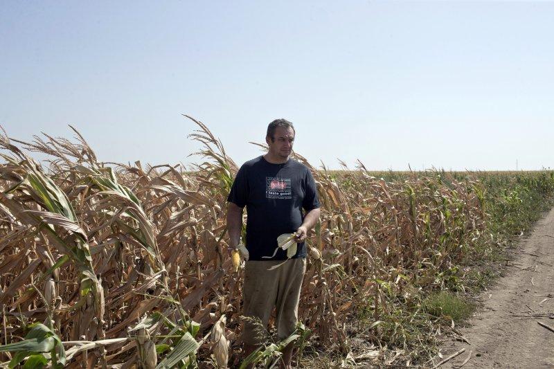 托爾達伊的玉米幾乎全數枯死,愁容滿面的他站在自家的玉米田裡(AP)