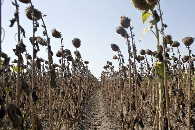 塞爾維亞北部村莊帕第那因乾旱枯死的向日葵(AP)