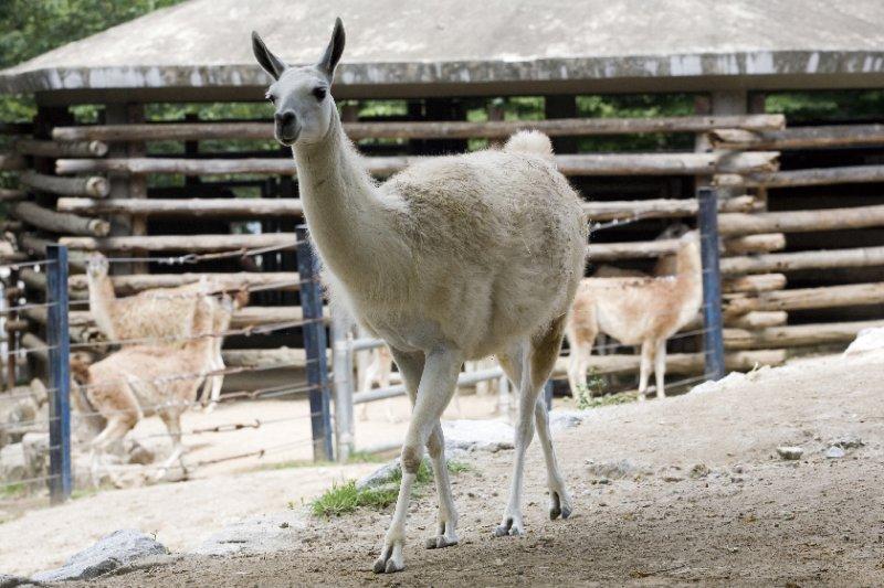 大羊駝是生活在南美大陸很久的動物,英文稱「Lama」,從很久以前就與人類像家人一樣親密。(圖/山岳文化提供)