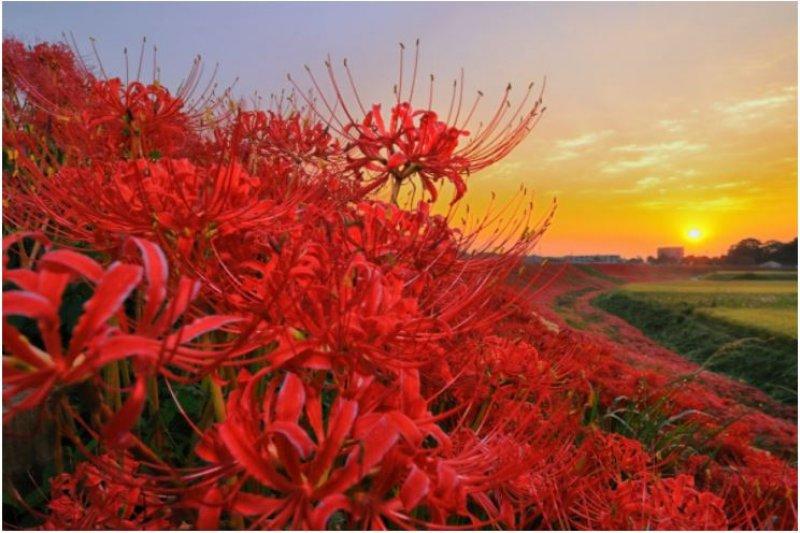 曼珠沙華又稱彼岸花,是日本每年9月中旬到10月上旬間最絕美的風景。(圖/ZEKKEI Japan提供)