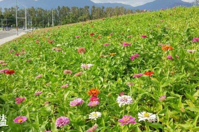 關渡花海將於25日盛大開幕,首先登場的花種為百日草。百日草為菊科百日草屬一年生草本植物,因為側枝的花長的會比頂端的花來高,又名百日菊或步步高。(取自台北旅遊網)