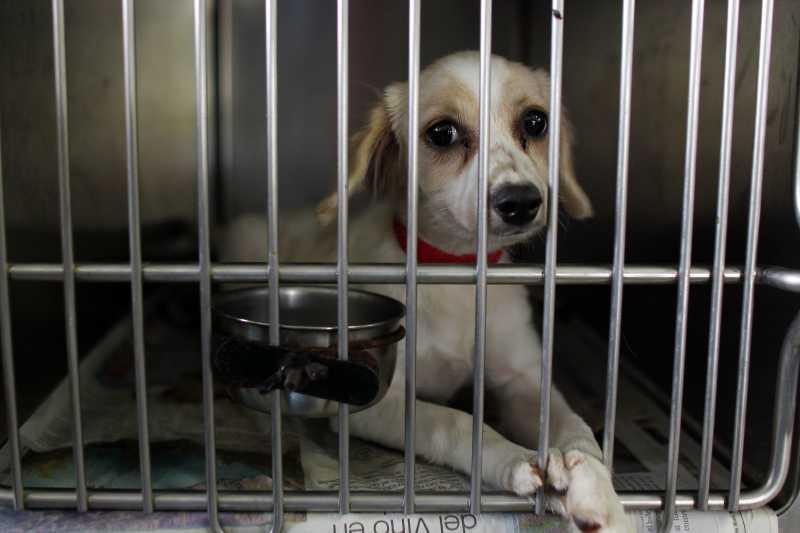 2017年8月24日,美國的動物救援團體志工從波多黎各的動物收容中心救出205隻狗狗,運到美國本土(AP)