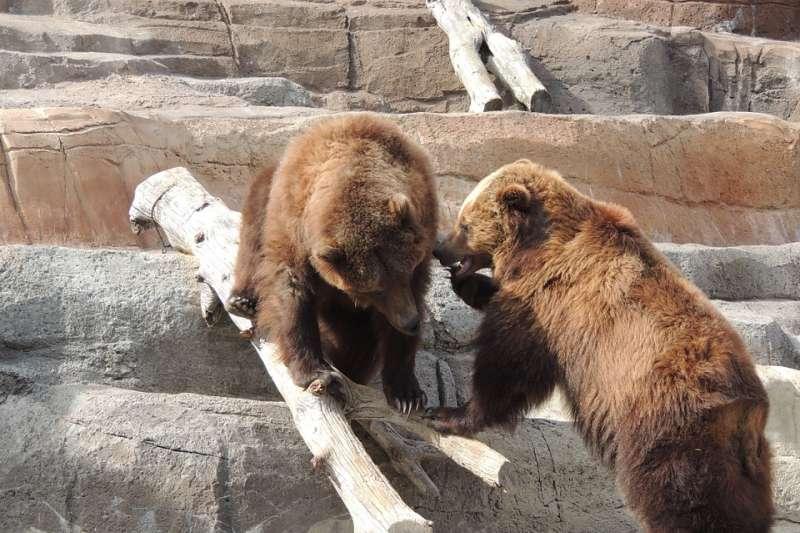 美國阿拉斯加州科迪亞克島的棕熊被迫選擇先吃接骨木果再吃鮭魚,背後原因竟然是氣候變遷肇禍。(圖/IAYDMommi@pixabay)