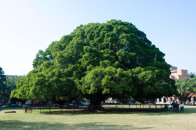 成功大學百年老榕樹相傳是1923年日本裕仁皇太子親手植下。(圖/cotaro70s@flickr)