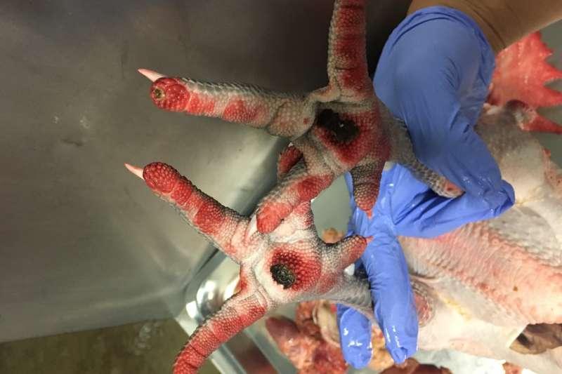 新北屠宰場發現雞出現腳瀰漫性出血等疑似禽流感症狀,通報後已確診,雞隻來源是雲林縣及桃園市的兩間雞場。(新北市動保處提供)