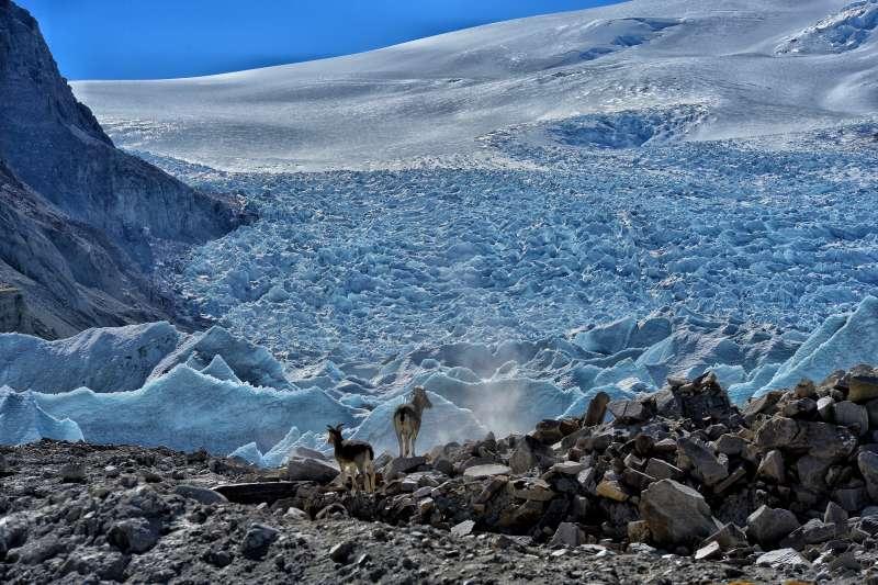 青藏高原,在西藏浪卡子縣與康瑪縣交界處的崗布冰川下拍攝的岩羊(新華社)