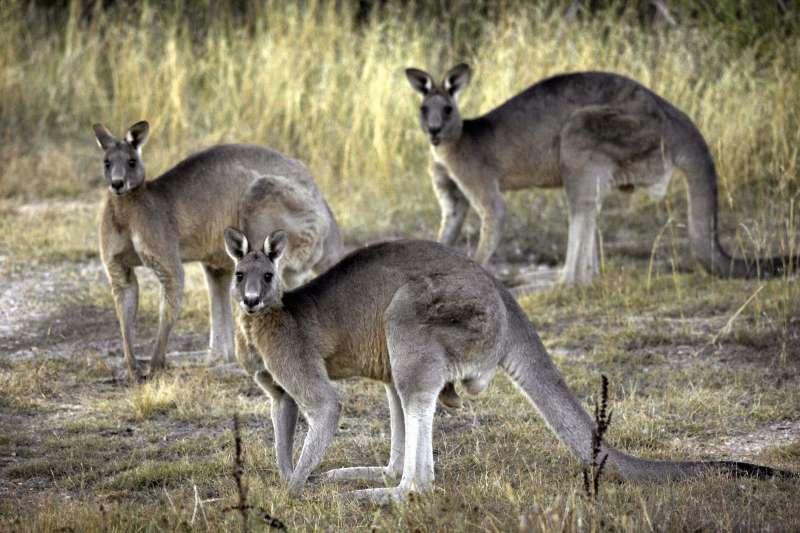 有澳洲人認為,一些訪澳的遊客喜歡嘗試澳洲特有肉類。(圖/AP)