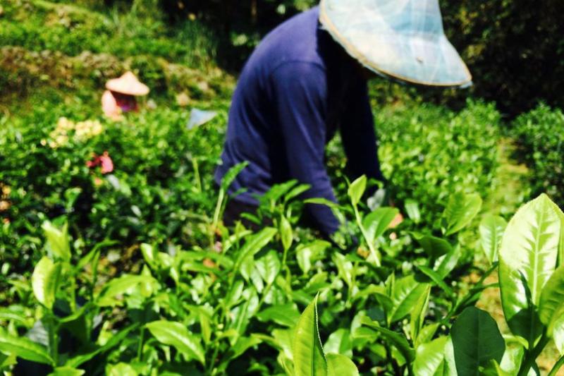 能喝到健康、好喝的茶葉,都是茶農辛苦的結果。(圖/信用市集提供)