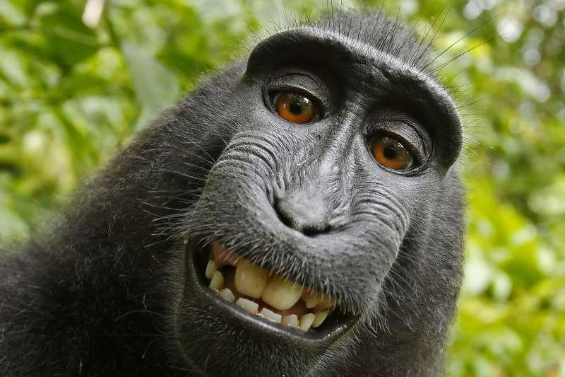 獼猴自拍版權案纏訟兩年,如今雙方終於達成協議和解了!(圖/取自wikimedia commons)