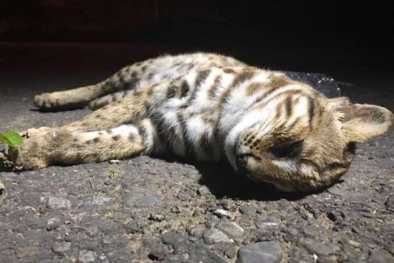 彰化縣芬園鄉台14線上發現一隻石虎被路殺,研究人員到現場時,其屍體已經腫脹,傷口長蛆。(楊玉如提供)