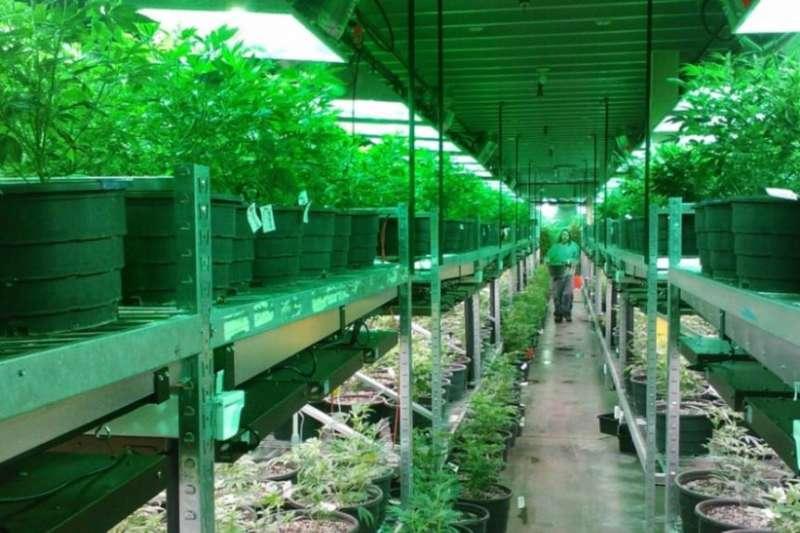 大麻農場(美國之音)
