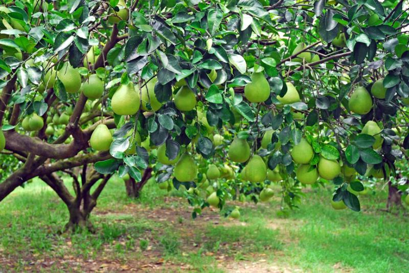中秋節前後正是台灣文旦柚的盛產期,也就成了最應景的水果(圖 / 花蓮縣政府提供)