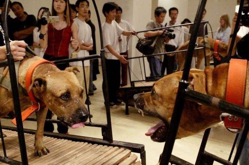 紐約古根漢美術館將展出「1989後的藝術與中國:世界劇場」特展,其中多項作品涉動物虐待,引起極大爭議。(圖/© Sun Yuan and Peng Yu)