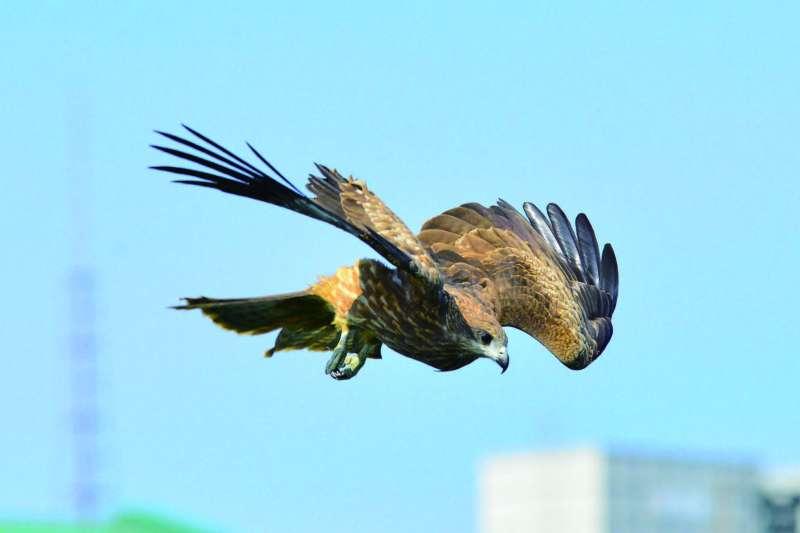 人類先破壞老鷹原有廣大的覓食區,卻又要求老鷹努力的在缺乏食物的大地找食物,這要老鷹情何以堪?(圖/作者提供)