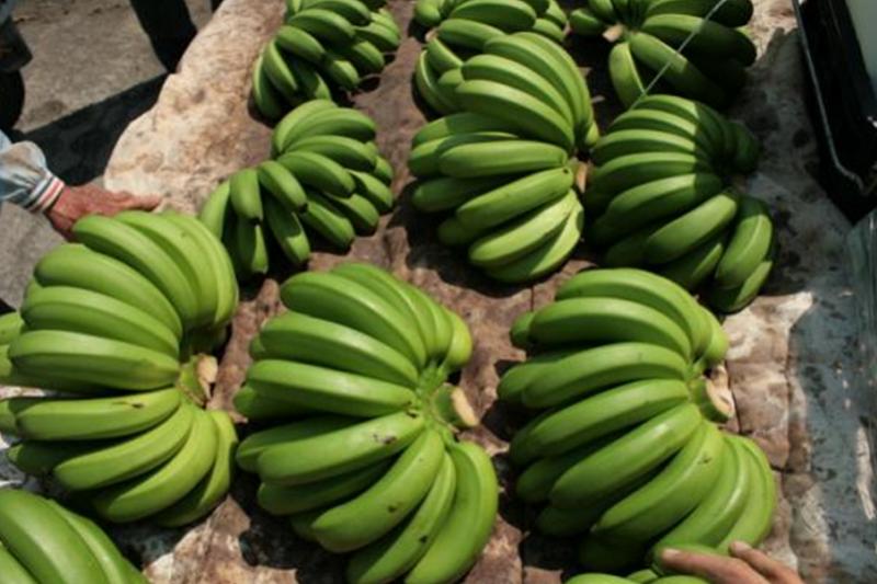 香蕉價格崩盤,作者認為,「台灣市場太小,外銷是台灣農產品唯一生路。」(資料照,王繼維提供)