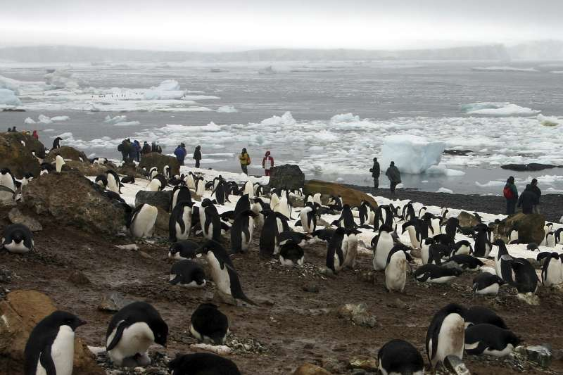 南極洲東部佩特雷爾島的阿德利企鵝幼鳥大量餓死,僅有2隻存活。(美聯社)