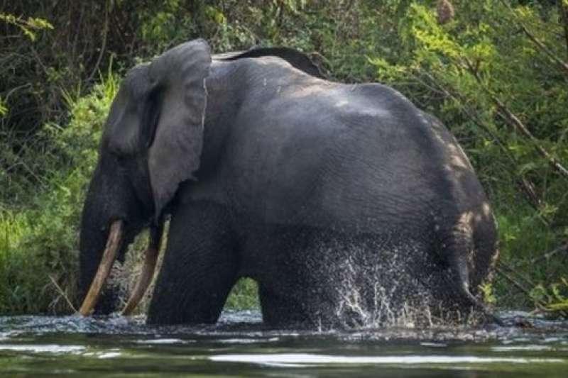 報告說,過去十年間,非洲大部分地區的大象獵殺活動正在減少。(BBC中文網)