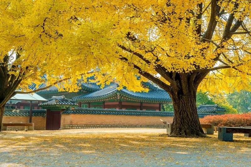 金黃色的銀杏和艷紅楓葉已佔據韓國街景,現在正是欣賞好時節!(圖/HotelsCombined提供)
