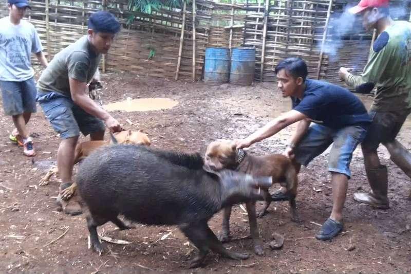 西爪哇省鄉村地區至今仍盛行的「鬥野豬」(adu bagong)比賽。
