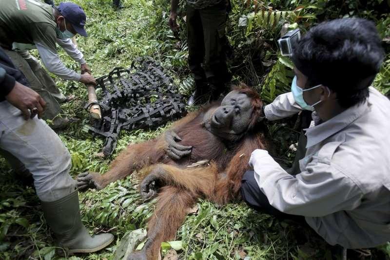 被救出移置的蘇門達臘紅毛猩猩。(美聯社)