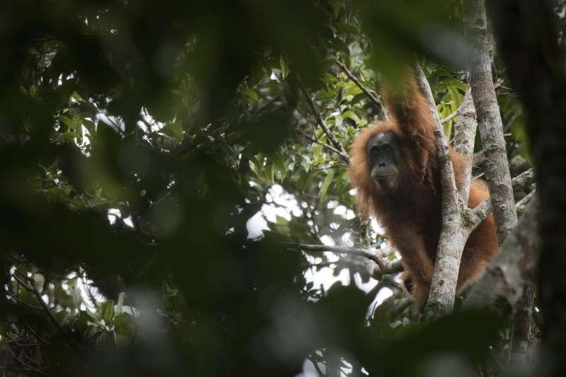 紅毛猩猩的印尼語及馬來語叫「orang utan」,意思為「森林中的人」。(美聯社)