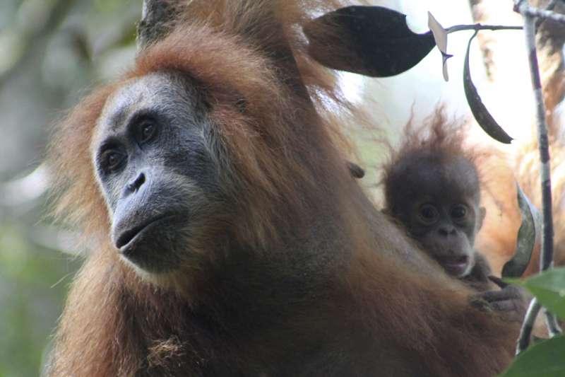 達巴努里猩猩是近90年來科學家首次發現對於類人猿的新物種(AP)