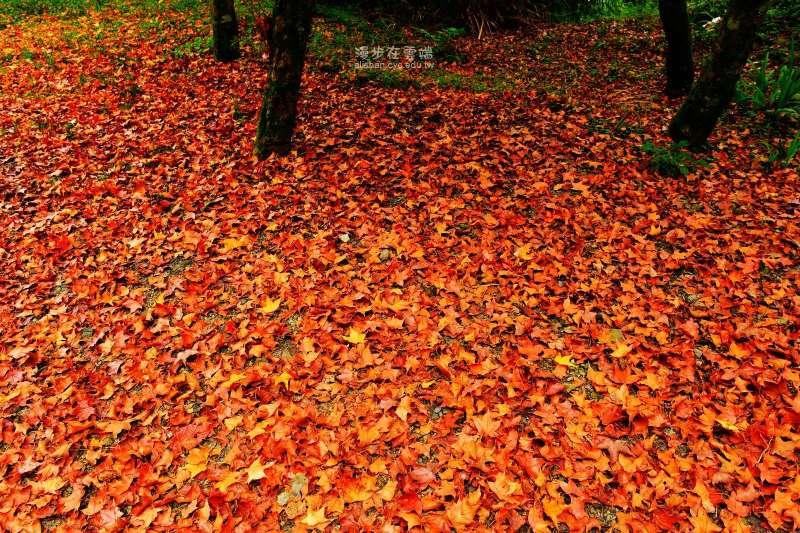 阿里山上的日本楓樹,最佳觀賞期間在11月到隔年1月。(圖/漫步在雲端的阿里山@facebook)