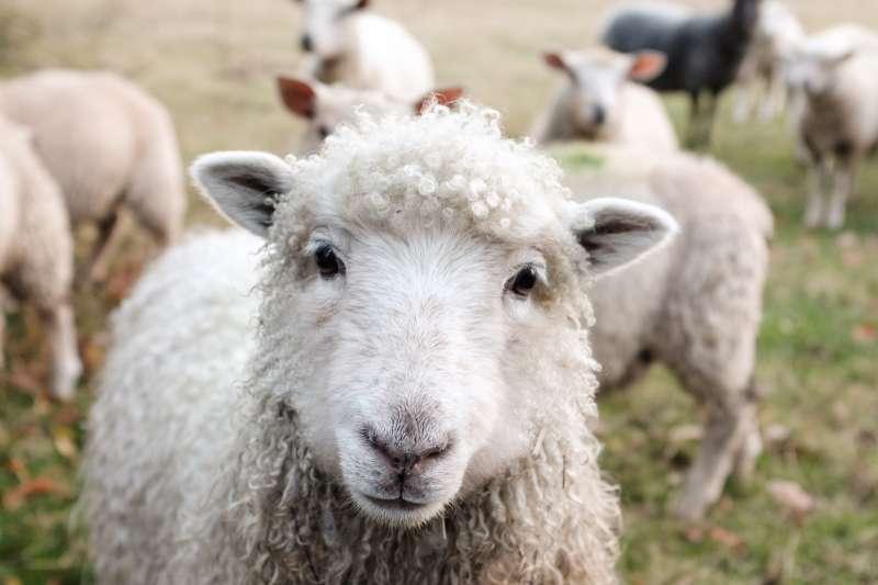 研究發現綿羊比人類想像得聰明許多,可能還會分辨人臉。(圖/Sam Carter@Unsplash)